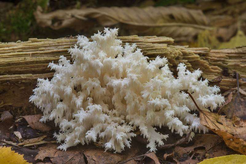 "Coral tooth mushroom (<B>Hericium coralloides</B>) near a river in Lindulovskaya Larch Grove, near Roshchino, 30 miles north-west from Saint Petersburg. Russia, <A HREF=""../date-en/2018-09-04.htm"">September 4, 2018</A>"