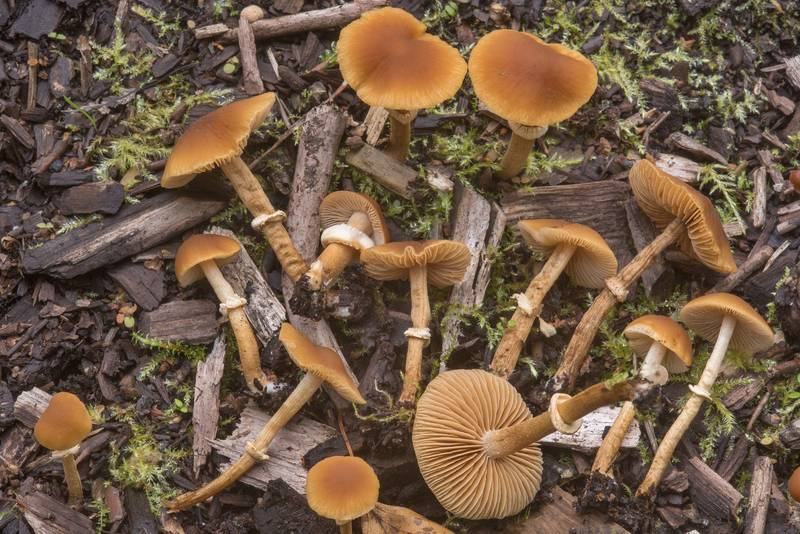 "<B>Conocybe rugosa</B> (Pholiotina rugosa) mushrooms on mulch in Sosnovka Park. Saint Petersburg, Russia, <A HREF=""../date-en/2018-09-04.htm"">September 4, 2018</A>"