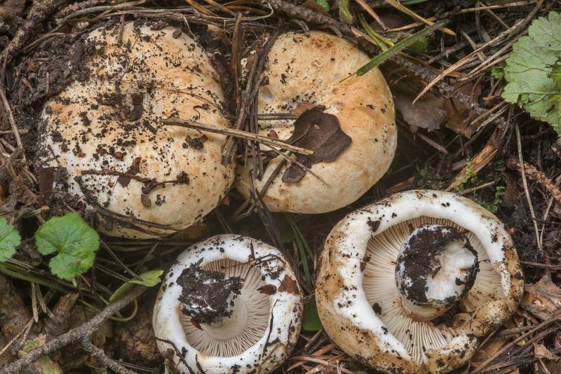 "Milk-white brittlegill mushrooms (<B>Russula delica</B>) in Sosnovka Park. Saint Petersburg, Russia, <A HREF=""../date-ru/2018-09-04.htm"">September 4, 2018</A>"