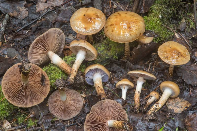 "Girdled webcap mushrooms (<B>Cortinarius trivialis</B>) near Kavgolovskoe Lake in Toksovo, north from Saint Petersburg. Russia, <A HREF=""../date-ru/2018-09-05.htm"">September 5, 2018</A>"