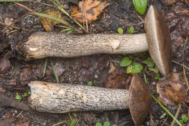 "Brown birch bolete mushrooms (<B>Leccinum scabrum</B>) on roadside near Kavgolovskoe Lake in Toksovo, north from Saint Petersburg. Russia, <A HREF=""../date-ru/2018-09-05.htm"">September 5, 2018</A>"