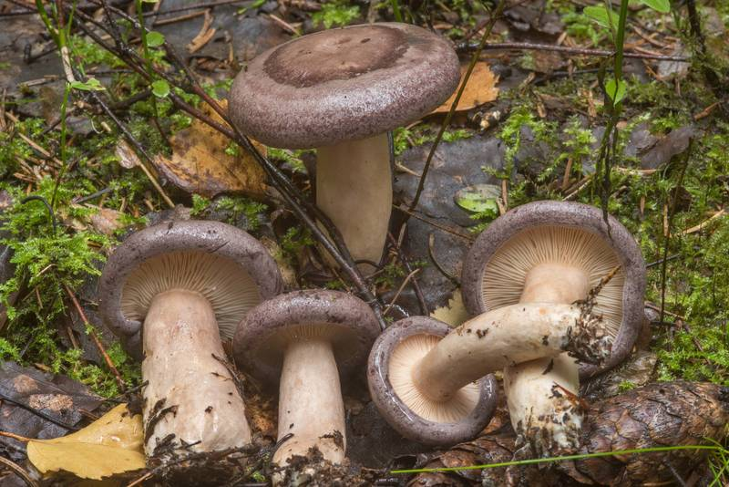 "Tacked milkcap mushrooms (<B>Lactarius trivialis</B>) near Kavgolovskoe Lake in Toksovo, north from Saint Petersburg. Russia, <A HREF=""../date-ru/2018-09-05.htm"">September 5, 2018</A>"
