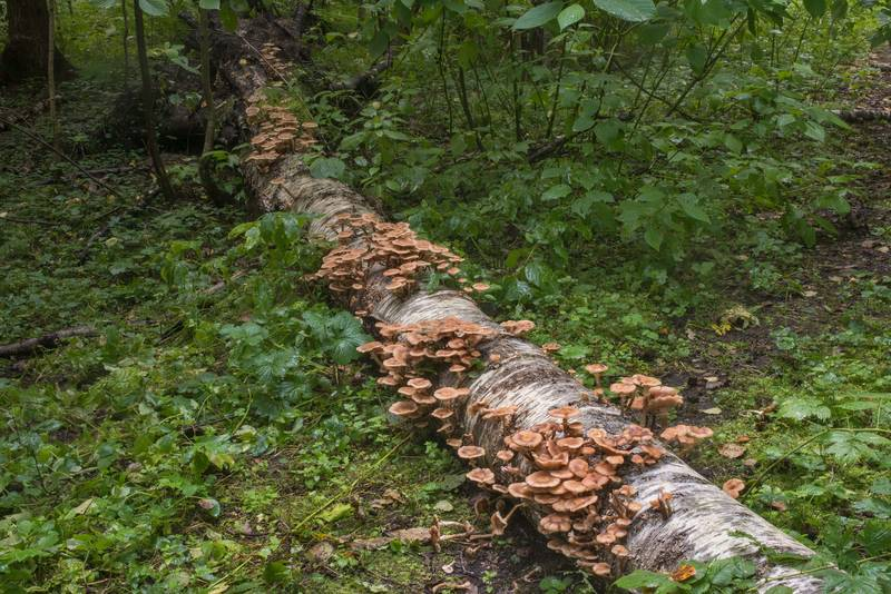 Northern honey mushrooms (Armillaria borealis) on a fallen birch near Lisiy Nos, west from Saint Petersburg. Russia, September 6, 2018