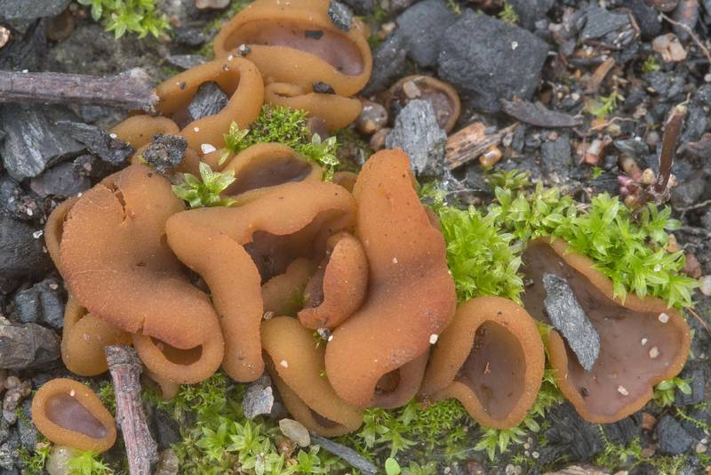 "Bay cup fungus (<B>Peziza badia</B>) on an old bonfire site in a coastal forest between Lisiy Nos and Olgino, west from Saint Petersburg. Russia, <A HREF=""../date-en/2018-09-06.htm"">September 6, 2018</A>"