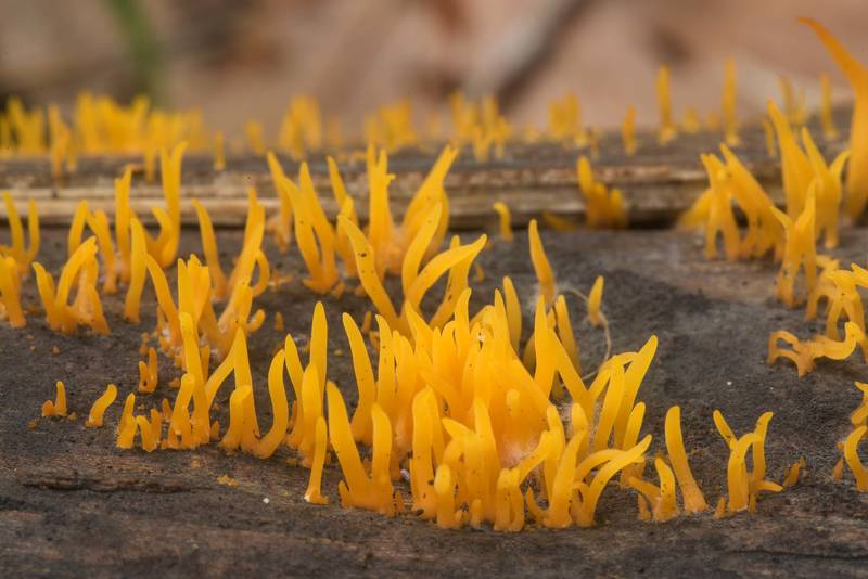 Small stagshorn mushrooms (Calocera cornea) on a log in a coastal forest between Lisiy Nos and Olgino, west from Saint Petersburg. Russia, September 6, 2018