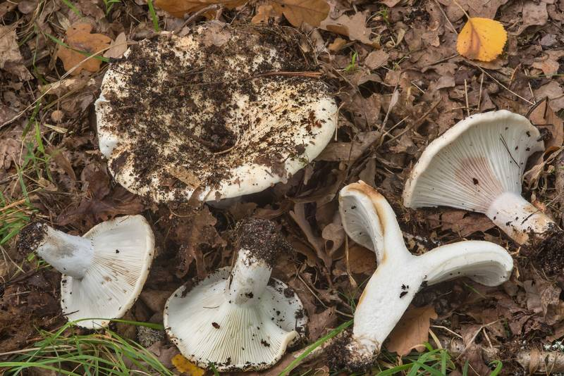 "Milk white brittlegill mushrooms (<B>Russula delica</B>) in a coastal forest between Lisiy Nos and Olgino, west from Saint Petersburg. Russia, <A HREF=""../date-ru/2018-09-06.htm"">September 6, 2018</A>"