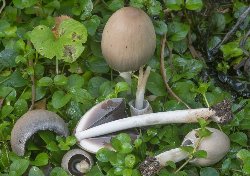 "Dissected common inkcap mushrooms <B>Coprinopsis atramentaria</B> on Krasnogo Molodtsa Alley in Pavlovsk Park. Pavlovsk, a suburb of Saint Petersburg, Russia, <A HREF=""../date-ru/2018-09-08.htm"">September 8, 2018</A>"