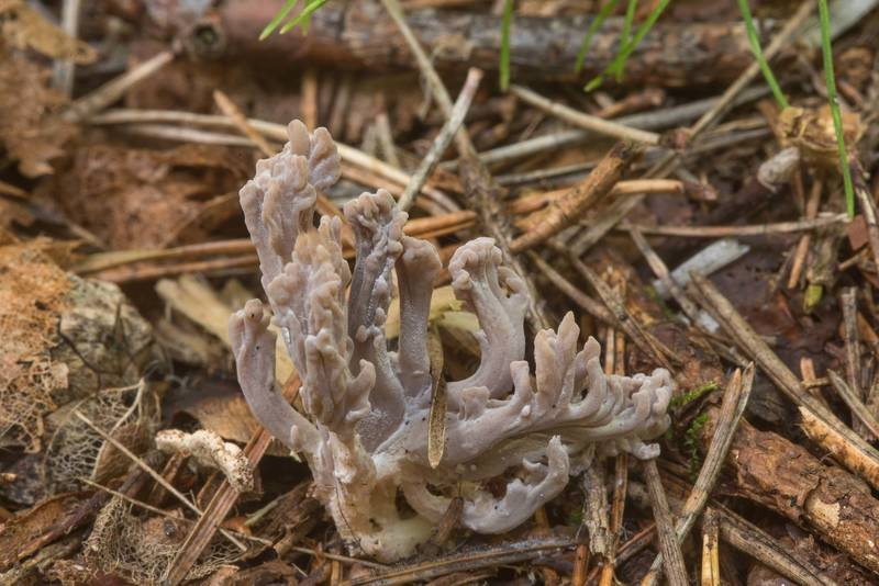 "Grey coral mushrooms (<B>Clavulina cinerea</B>) infected by ascomycete fungus Helminthosphaeria clavariarum in area of New Sylvia in Pavlovsk Park. Pavlovsk, a suburb of Saint Petersburg, Russia, <A HREF=""../date-ru/2018-09-08.htm"">September 8, 2018</A>"