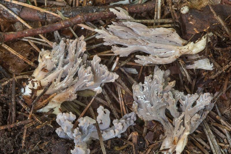 "Grey coral mushrooms (<B>Clavulina cinerea</B>) infected by ascomycete fungus Helminthosphaeria clavariarum under spruce trees in area of New Sylvia in Pavlovsk Park. Pavlovsk, a suburb of Saint Petersburg, Russia, <A HREF=""../date-ru/2018-09-08.htm"">September 8, 2018</A>"