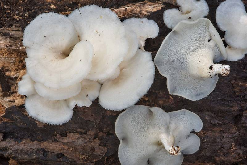 Mesh like surface underside of tropical white polypore mushrooms (Favolus tenuiculus, Favolus brasiliensis) on rotten oak in Lick Creek Park. College Station, Texas, September 11, 2018