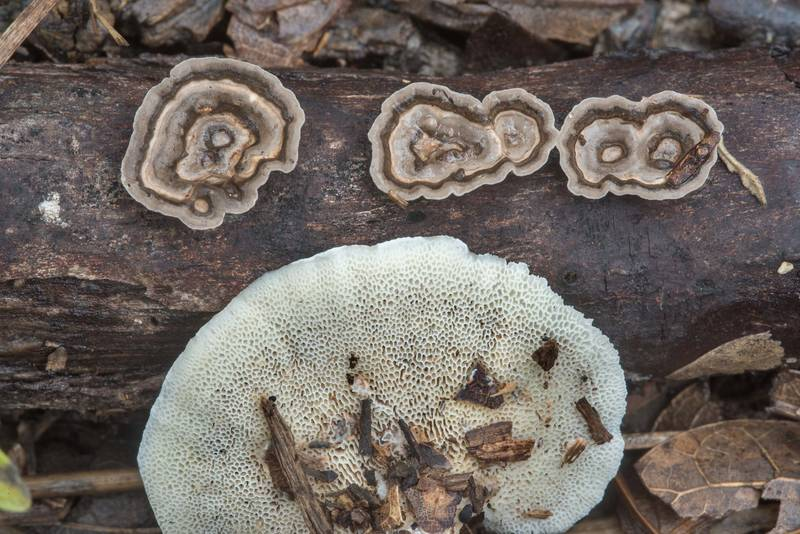 Little Nest Polypore mushrooms (Poronidulus conchifer, Trametes conchifer) in Lick Creek Park. College Station, Texas, September 11, 2018