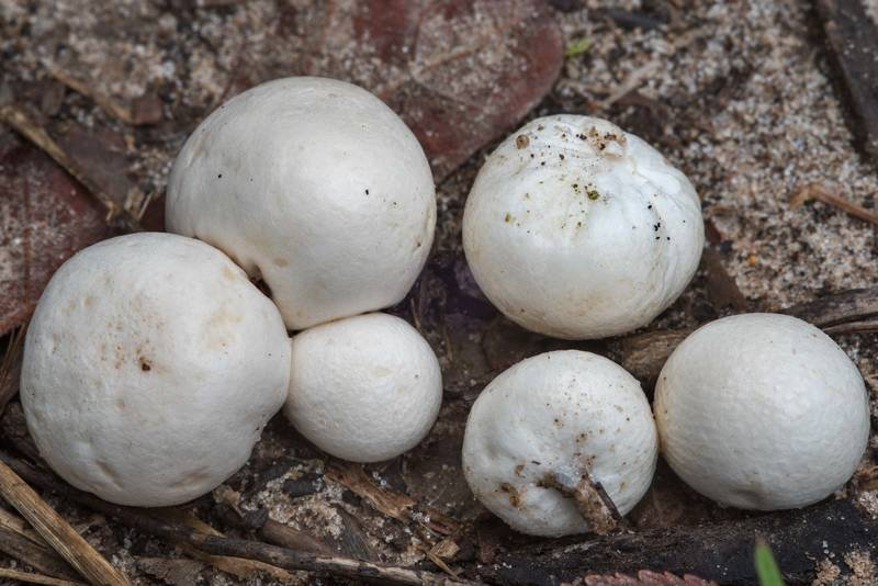 Puffball like mushrooms Arachnion album in Lick Creek Park. College Station, Texas, September 11, 2018