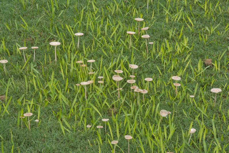 "Small and tall mushrooms <B>Bolbitius coprophilus</B> on gulf course of Texas A and M University. College Station, Texas, <A HREF=""../date-en/2018-09-14.htm"">September 14, 2018</A>"