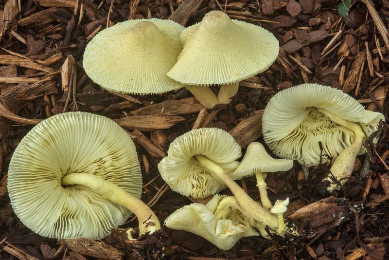"Yellow parasol mushrooms (<B>Leucocoprinus birnbaumii</B>) under oaks on New Main Drive on campus of Texas A and M University. College Station, Texas, <A HREF=""../date-en/2018-09-14.htm"">September 14, 2018</A>"