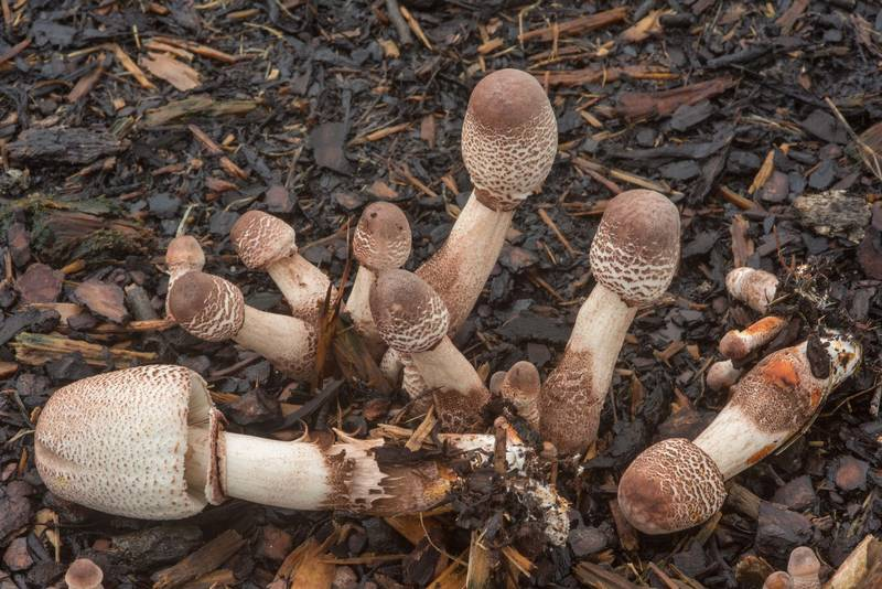 "Young mushrooms <B>Leucoagaricus americanus</B> under oaks on New Main Drive on campus of Texas A and M University. College Station, Texas, <A HREF=""../date-en/2018-09-14.htm"">September 14, 2018</A>"