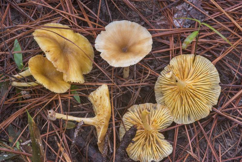 "<B>Gerronema strombodes</B> mushrooms on Caney Creek section of Lone Star Hiking Trail in Sam Houston National Forest near Huntsville, Texas, <A HREF=""../date-en/2018-09-15.htm"">September 15, 2018</A>"