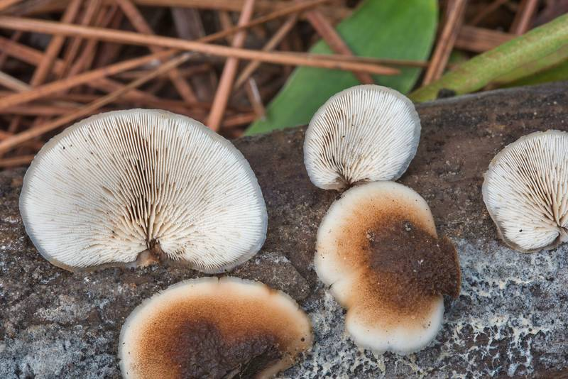 "Bear Lentinellus mushrooms (<B>Lentinellus ursinus</B>) on a log on Caney Creek section of Lone Star Hiking Trail in Sam Houston National Forest near Huntsville, Texas, <A HREF=""../date-en/2018-09-15.htm"">September 15, 2018</A>"