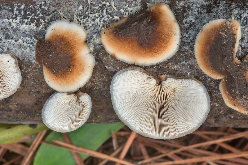 "Bear Lentinellus mushrooms (<B>Lentinellus ursinus</B>) on wood on Caney Creek section of Lone Star Hiking Trail in Sam Houston National Forest near Huntsville, Texas, <A HREF=""../date-en/2018-09-15.htm"">September 15, 2018</A>"