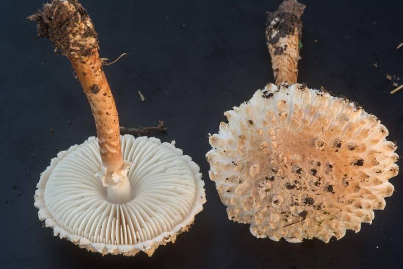 "Salmon Lepidella mushrooms (Amanita subcaligata, <B>Saproamanita subcaligata</B>) on black background on golf course of Texas A and M University. College Station, Texas, <A HREF=""../date-en/2018-09-16.htm"">September 16, 2018</A>"
