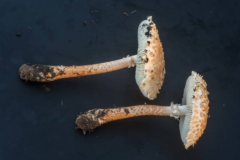 "Side view of Salmon Lepidella mushrooms (Amanita subcaligata, <B>Saproamanita subcaligata</B>) on black background on golf course of Texas A and M University. College Station, Texas, <A HREF=""../date-en/2018-09-16.htm"">September 16, 2018</A>"