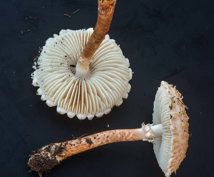 "Pair of Salmon Lepidella mushrooms (Amanita subcaligata, <B>Saproamanita subcaligata</B>) on black background on golf course of Texas A and M University. College Station, Texas, <A HREF=""../date-en/2018-09-16.htm"">September 16, 2018</A>"