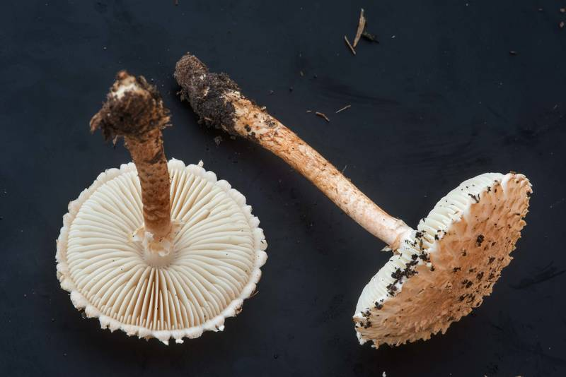 "Stems of Salmon Lepidella mushrooms (Amanita subcaligata, <B>Saproamanita subcaligata</B>) on black background on golf course of Texas A and M University. College Station, Texas, <A HREF=""../date-en/2018-09-16.htm"">September 16, 2018</A>"