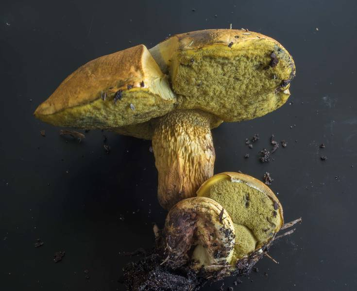 "Mushrooms <B>Boletus luridellus</B> found under live oaks on golf course of Texas A and M University. College Station, Texas, <A HREF=""../date-en/2018-09-17.htm"">September 17, 2018</A>"