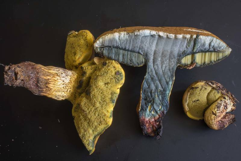 "Dissected mushrooms <B>Boletus luridellus</B> found under live oaks on golf course of Texas A and M University. College Station, Texas, <A HREF=""../date-en/2018-09-17.htm"">September 17, 2018</A>"