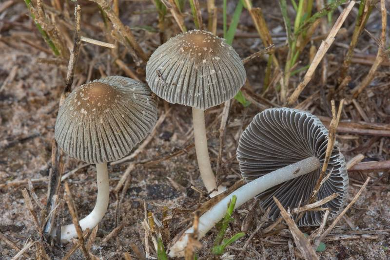 "Inkcap mushrooms <B>Coprinellus impatiens</B> on a lawn in Lick Creek Park. College Station, Texas, <A HREF=""../date-en/2018-09-18.htm"">September 18, 2018</A>"