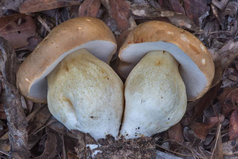 "King bolete mushrooms (<B>Boletus edulis</B> group) in Lick Creek Park. College Station, Texas, <A HREF=""../date-en/2018-09-18.htm"">September 18, 2018</A>"