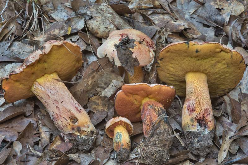 "Group of <B>Butyriboletus floridanus</B> mushrooms under oaks in Lick Creek Park. College Station, Texas, <A HREF=""../date-en/2018-09-18.htm"">September 18, 2018</A>"