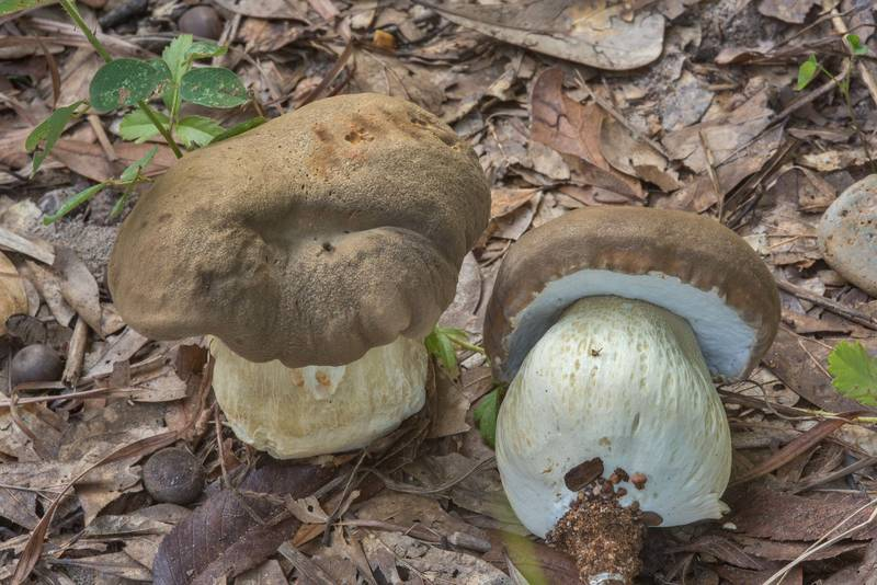 "Pair of young porcini mushrooms (<B>Boletus edulis</B> group) on roadside in Lick Creek Park. College Station, Texas, <A HREF=""../date-en/2018-09-18.htm"">September 18, 2018</A>"