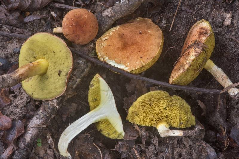 "Dissected bolete mushrooms <B>Leccinum rubropunctum</B>(?) in Lick Creek Park. College Station, Texas, <A HREF=""../date-en/2018-09-21.htm"">September 21, 2018</A>"