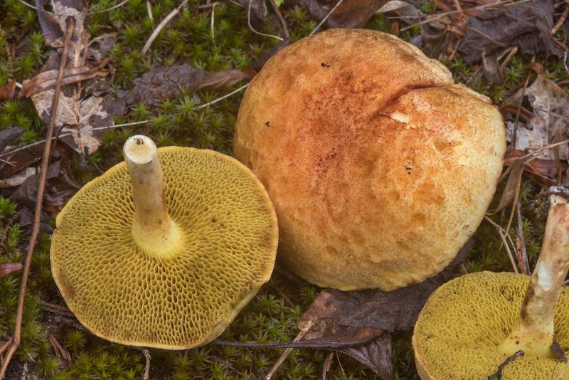 "Bolete mushrooms <B>Boletus harrisonii</B> in Lick Creek Park. College Station, Texas, <A HREF=""../date-en/2018-09-21.htm"">September 21, 2018</A>"