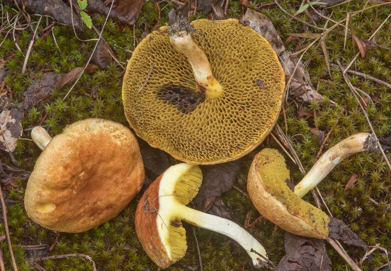 "Dissected mushrooms <B>Boletus harrisonii</B> in Lick Creek Park. College Station, Texas, <A HREF=""../date-en/2018-09-21.htm"">September 21, 2018</A>"