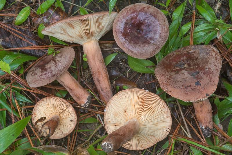 "Corrugated-cap milky mushrooms (Lactifluus corrugis, <B>Lactarius corrugis</B>) on Caney Creek Trail (Little Lake Creek Loop Trail) in Sam Houston National Forest, near Huntsville. Texas, <A HREF=""../date-en/2018-09-22.htm"">September 22, 2018</A>"