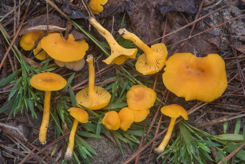 "Chanterelle mushrooms <B>Cantharellus tabernensis</B> on Little Lake Creek Loop Trail in Sam Houston National Forest. Richards, Texas, <A HREF=""../date-en/2018-09-23.htm"">September 23, 2018</A>"