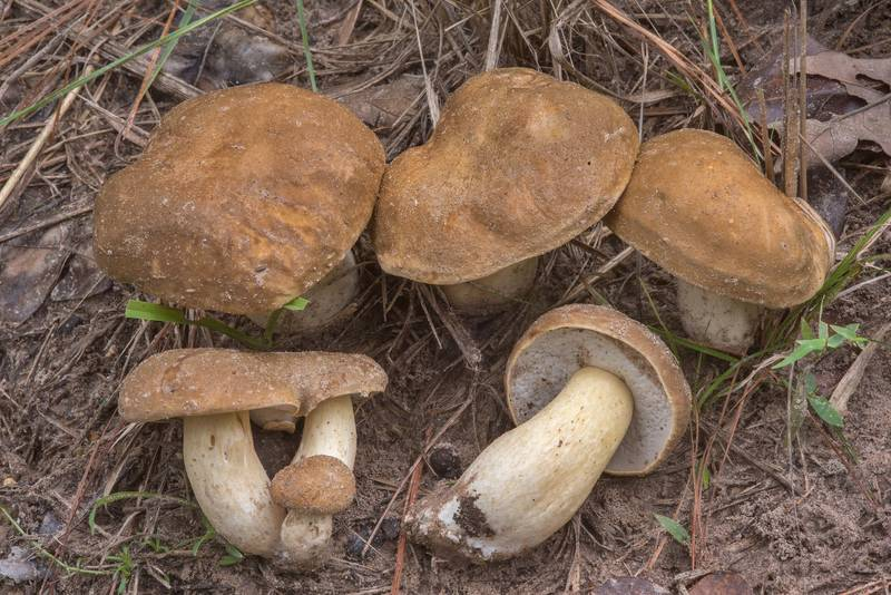 "Porcini mushrooms (<B>Boletus edulis</B> group) on Little Lake Creek Loop Trail in Sam Houston National Forest. Richards, Texas, <A HREF=""../date-en/2018-09-23.htm"">September 23, 2018</A>"