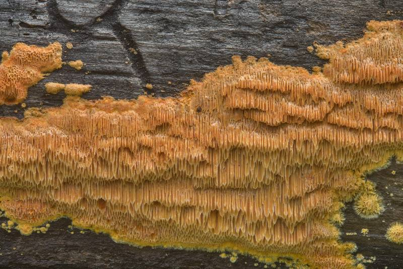 "Porous mushrooms <B>Pycnoporellus alboluteus</B>(?) on a fallen pine on Little Lake Creek Loop Trail in Sam Houston National Forest. Richards, Texas, <A HREF=""../date-en/2018-09-23.htm"">September 23, 2018</A>"