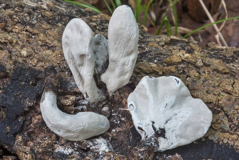 Xylaria poitei mushrooms in Lick Creek Park. College Station, Texas, September 25, 2018