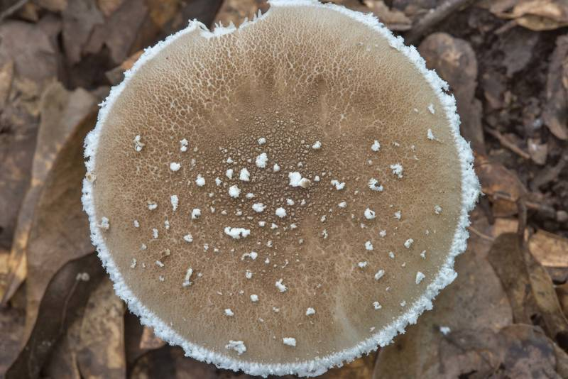 Cap of Gray Dust Lepidella mushroom (Amanita cinereoconia) in Lick Creek Park. College Station, Texas, September 25, 2018