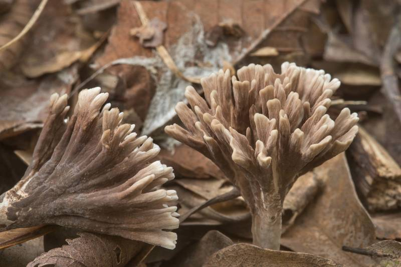 Thelephora anthocephala mushrooms among dry oak leaves in Lick Creek Park. College Station, Texas, September 25, 2018