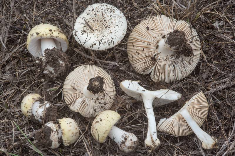 "Mushrooms <B>Amanita pubescens</B> in Lick Creek Park. College Station, Texas, <A HREF=""../date-en/2018-09-27.htm"">September 27, 2018</A>"