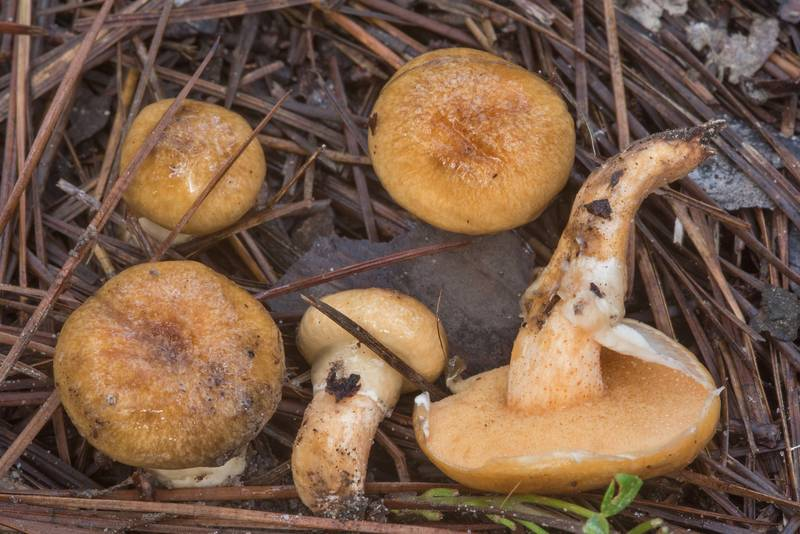 "<B>Suillus cothurnatus</B> mushrooms in a pine forest on Little Lake Creek Loop Trail in Sam Houston National Forest. Richards, Texas, <A HREF=""../date-en/2018-09-30.htm"">September 30, 2018</A>"