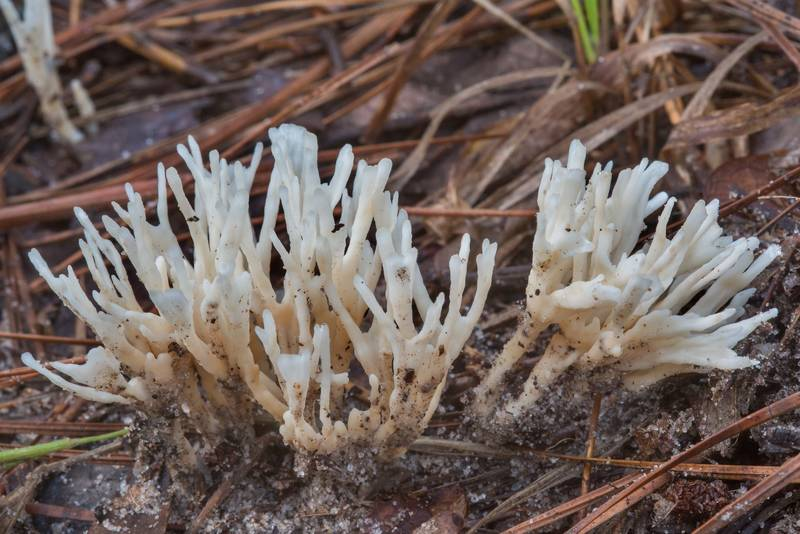 Coral like mushrooms Tremellodendropsis semivestita on Little Lake Creek Loop Trail in Sam Houston National Forest. Richards, Texas, September 30, 2018