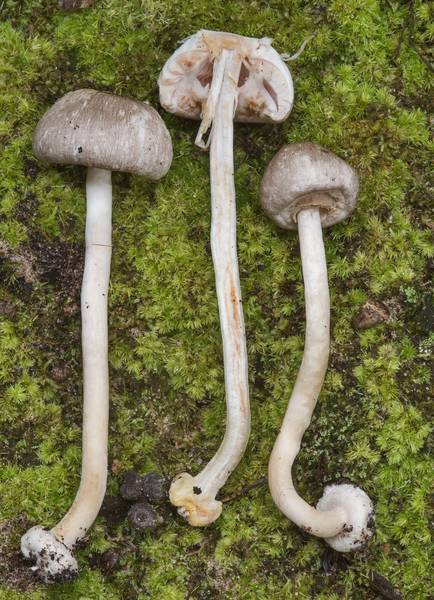 "Dissected <B>Agaricus pocillator</B> mushrooms on Little Lake Creek Loop Trail in Sam Houston National Forest. Richards, Texas, <A HREF=""../date-en/2018-09-30.htm"">September 30, 2018</A>"