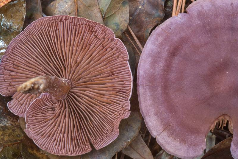 Underside of some violet thin-stem webcap (Cortinarius) mushroom on Little Lake Creek Loop Trail in Sam Houston National Forest. Richards, Texas, September 30, 2018