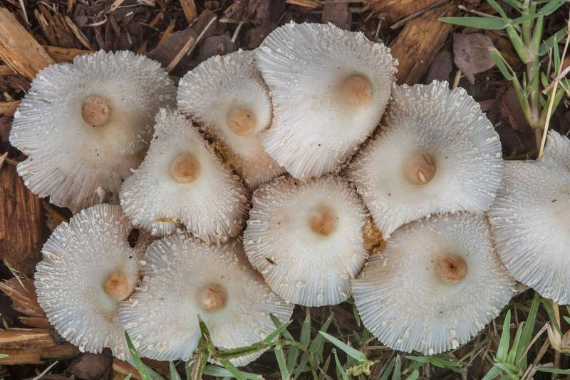 "Onion-stalked lepiota mushrooms (<B>Leucocoprinus cepistipes</B>) on mulch under a live oak at New Main Drive on campus of Texas A and M University. College Station, Texas, <A HREF=""../date-en/2018-10-01.htm"">October 1, 2018</A>"