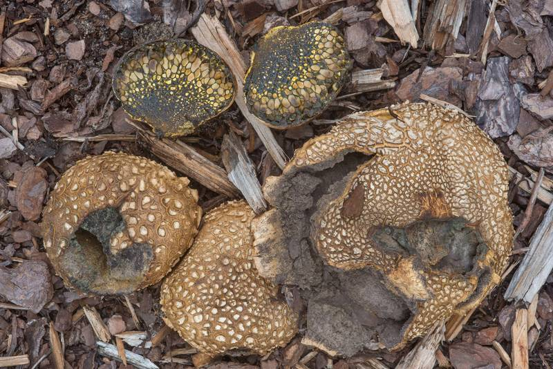 "Tuff puffball mushrooms (<B>Scleroderma texense</B>) and dyeball fungus (Pisolithus arhizus, Pisolithus tinctorius) on a flowerbed with mulch at Spence Street on campus of Texas A and M University. College Station, Texas, <A HREF=""../date-en/2018-10-01.htm"">October 1, 2018</A>"