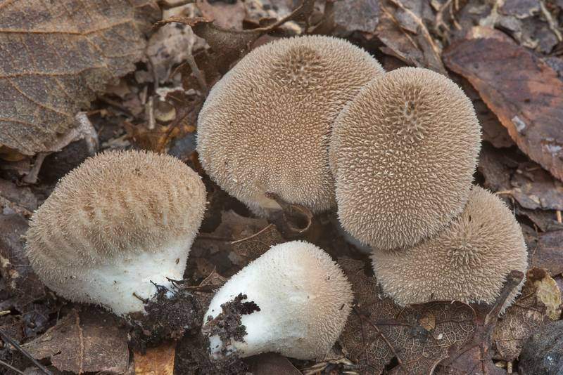 Puffball mushrooms Lycoperdon umbrinum in Lick Creek Park. College Station, Texas, October 3, 2018
